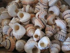 Candy Snail Seashells 15  Seashell Supply  craft by LiveCoastal, $4.00