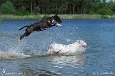 Yupyyyy- English Bull Terriers playing in the water <3