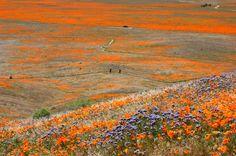 Antelope Valley Poppy Preserve (38)