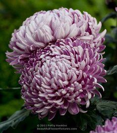 Royal Silver Intermediate Incurve Chrysanthemums © 2011 Patty Hankins