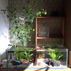 soramameさんの、アクアリウム,水槽,玄関/入り口,のお部屋写真 Planted Aquarium, Aquarium Fish, Nano Tank, Water Plants, Cool Pets, Goldfish, My Room, Fresh Water, Terrariums