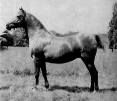RAZINA (Rasim x Riyala, by Astraled) 1922 chestnut mare bred by Crabbet Park, UK - became foundation mare if Hanstead Stud, UK where she became dam of the legendary Raktha