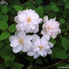 Muratit, villiviinit, kärhöt ja muut köynnöskasvit tuovat pihaasi kaunista tunnelmaa – tutustu köynnösvalikoimaamme tai tule puutarhamyymäläämme Turkuun!