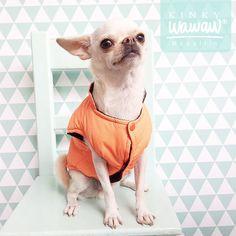 Drago #ChihuahuaWawaw mira coquetamente porque sabe que el naranja le queda perfecto en #Medellín.