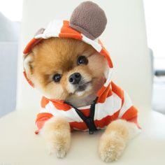 Check Out Pomeranian Puppy Videos Baby Animals Super Cute, Super Cute Puppies, Cute Little Puppies, Cute Little Animals, Cute Dogs And Puppies, Cute Funny Animals, Baby Dogs, I Love Dogs, Doggies
