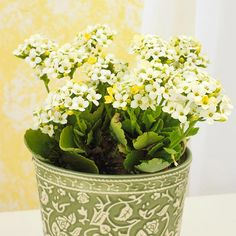 Houseplants for the Forgetful Gardener  Kalanchoe