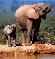 Elephant and baby elephant by Joan Hoyle