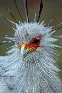 ~~Secretary Bird by j.a. kok~~