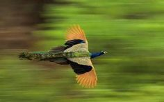 Peacock in flight: Is a relatively less seen sight, than its dance, but equally amazing to witness.