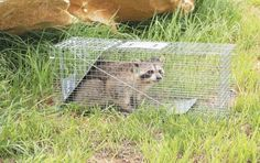 Animal Cage Trap Raccoon Stray Cat Groundhog Opossum Armadillos Rabbits Havahart