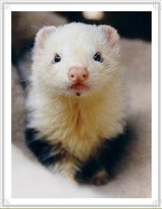 Absolutely, splendidly adorably little ferret. http://www.pinterest.com/bethanymock/furry-ferrets/ & video http://www.pinterest.com/pin/461056080574030203/