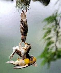 This is a mother bird and a father bird saving their baby from falling out of their nest! ♥