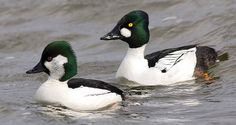 Bufflehead x Common Goldeneye hybrid. I've never seen a duck like this - it would be interesting to see.