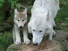 Canis lupus - white wolf puppy with parent Of Wolf And Man, Wild Animals Photos, Arctic Wolf, Wolf Pup, Howl At The Moon, Wolf Love, White Wolf, Photos Du, Beautiful Creatures