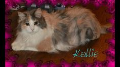 Meet Kallie (super gorgeous WOW!), a Petfinder adoptable Ragdoll Cat   South Salem, NY   Meet magnificent Kallie!  She is a gorgeous Ragdoll mix girl who is looking for her forever home. ...
