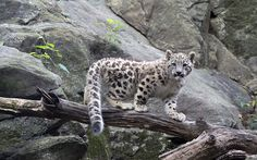 Meet the new addition to New York City's Bronx Zoo! The zoo released adorable photos of its baby snow leopard cub, born in April to mom Maya and dad Leo. Baby Snow Leopard, Leopard Cub, Bronx Zoo, Snow Leopard Endangered, New York Zoo, Wildlife Conservation Society, Panthera Pardus, Baby In Snow, Big Cats