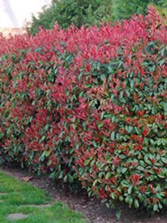 Virginia Creeper Maintenance: Growing Info And Virginia Creeper Plant Care A vigorous and fast growing vine, Virginia creeper is an outstanding plant for nearly any soil and light situation. Learn how to prune Virginia creeper vine in this article. Photinia Red Robin, Red Tip Photinia, Red Robin Hedge, Virginia Creeper Vine, Hedge Trees, Hornbeam Hedge, Privacy Hedge, Hedging Plants, Gardens