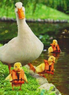 Ducklings in life jackets!