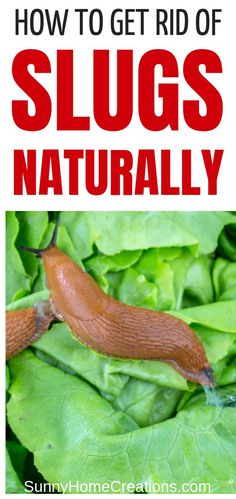 How to Get Rid of Slugs Naturally If you have slugs in your garden and are wondering how to get rid of them naturally - here are many tips on how to get rid of or kill them so they stop eating your plants and leave your yard for good. There are some beer Slugs In Garden, Garden Insects, Garden Pests, Herbs Garden, How To Kill Slugs, Organic Gardening, Gardening Tips, Vegetable Gardening, Garden Compost