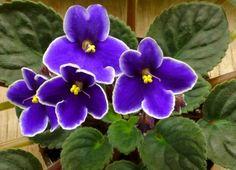 'Idaho' So sweet, I wish mine would bloom.