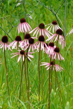 Pale Purple Coneflower (Echinacea pallida) : Prairie Nursery : Native Plants - Another! Prairie Planting, Prairie Garden, Fall Plants, Garden Plants, Backyard Plants, Flowers Perennials, Planting Flowers, Plant Delivery, Low Maintenance Plants