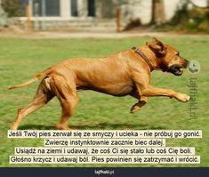 Co zrobić, jeśli pies zerwie się ze smyczy? - Jeśli Twój pies zerwał się ze smyczy i ucieka - nie próbuj go gonić. Zwierzę instynktownie zacznie biec dalej. Usiądź na ziemi i udawaj, że coś Ci się stało lub coś Cię boli.  Głośno krzycz i udawaj ból. Pies powinien się zatrzymać i wrócić.