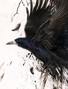 "Raven By "" Paweł Kozakowski "" – Drawing Inspiration Crow Art, Raven Art, Bird Art, Art And Illustration, Blackbird Singing, Quoth The Raven, Raven Tattoo, Jackdaw, Crows Ravens"