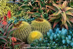 Colorful California drought tolerant succulent garden with Golden barrel cactus, Echinocactus grusonii, Aloe elgonica, A. design Jeff Moore of Solana Succulents. Photo by Saxon Holt Succulent Gardening, Cacti And Succulents, Planting Succulents, Succulent Landscaping, Succulent Arrangements, Gardening Tips, Dry Garden, Garden Show, Amazing Gardens