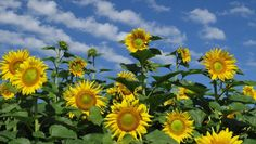 Sunnys by Sher by Sher Freebird on Capture Minnesota // This is my favorite sunny shot from this summer.  I got to have three minutes of puffy clouds to add to my compo and got down on the wet ground and gave it my best shot.  This field is used to produce sunflower oil.