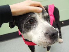 TO BE DESTROYED 1/13/14  Manhattan Ctr TOPANGA A0989065 Female  Blk / Wht Pit Mix STRAY 10 yrs ~SENIOR ALERT~ Described as gentle, sweet, house trained. Likes kids/people/dogs, ignores cats. Topanga has lovely manners; comes when called, takes treats gently, likes to cuddle. ACED HER BEHAVIOR EXAM!!! Topanga is a survivor who deserves to spend her golden years w/ a loving family. Welcome Topanga home today and she'll repay you with a lifetime of the most heartfelt gratitude, loyalty and…