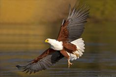 African Fish Eagle by Nevil Lazarus on Birds Of Prey, Raptors, Animal Photography, My Images, Bald Eagle, Cabins, Wildlife, African, Fish