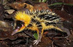Le tenrec zébré (1e fois en 1798). Ce petit mammifère ne vit que sur l'île de Madagascar, D'une longueur pouvant atteindre les 20 cm, il ne pèse que 125 à 280 gr. Les piquants qu'il porte sur le corps sont, à l'instar du porc-épic commun, détachables, ce qui lui permet de se protéger lorsqu'il fouille le sol pour trouver de la nourriture. C'est aussi en les frottant qu'il réussit à communiquer avec d'autres individus de son espèce afin de les prévenir de la présence d'un prédateur.