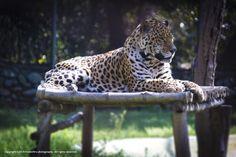 Leopard by Amit Kaushal on 500px