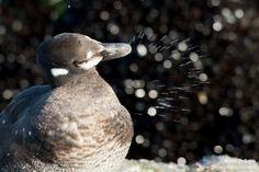 Harlequin Ducks, Sitting in Bird Poop - Travel Through Pictures . com