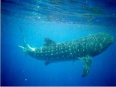 Swimming with whalesharks in Belize