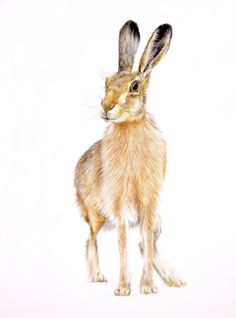 hare illustration  rabbit drawing  original by NayanaIliffe