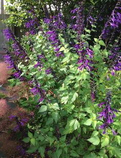 Salvia Amistad - planted next to clematis in driveway