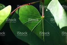 Lush Green Heart Shaped Leaves in Sunshine! More Images available in my Portfolio. Royalty-Free Stockphotos for all your & & Needs. See Link in Bio. Green Leaves, Plant Leaves, More Images, Abstract Photos, Lush Green, Image Now, Spring Time, Sunlight, Close Up