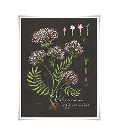 Valerian print 85x11 Botanical collection flower by evajuliet