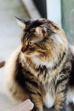 Най - голямата домашна котка
