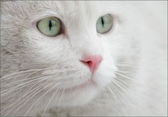 gorgeous white Persian cat soft green eyes pink nose