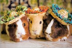 The Señora (In assorted colors) I love guinea pigs!! So cute and chubby