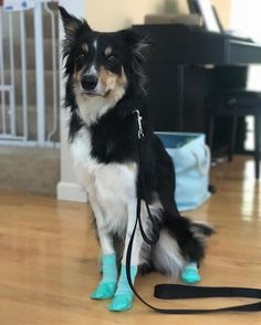 Mahm says we are moving somewhere where it is very hot and very cold and snowy so she says I need to get used to wearing these socks?!?! #pawks#rcpets#dogsofinstagram#dogsofinsta#dogsofig#dogstagrinstadigs#igers#puppiesofinstagram#bordercollie#bordercolliegram#bordercollienation#bordercolliesofinstagram#dailydog#barkpost#bestwoof