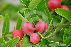 Miracle Fruit - Download From Over 56 Million High Quality Stock Photos, Images, Vectors. Sign up for FREE today. Image: 49692485