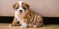 Why Veterinarians Are Warning People Not to Buy 'Flat-Faced' Dogs  - Redbook.com