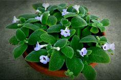 Fresh green มุมคนรักพรม  .Fimbriata Blue Heaven