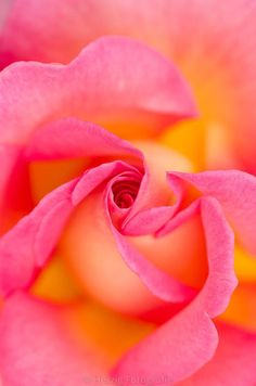 Pink Paradise Rose - ©Herzig Photography http://horstherzig.photodeck.com/ #beautifulflowersphotography
