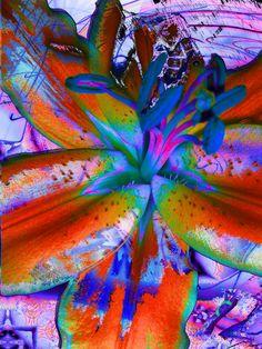 dissonant lily