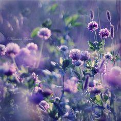 Клевер в фиолетовых тонах, фотограф Tatyana Kirsanova / Татьяна Кирсанова