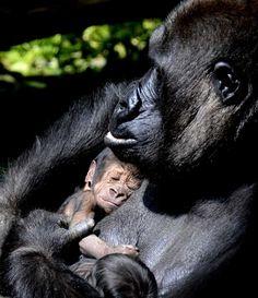 Gorilla N'Gayla pasgebooren with her twin in the Burgers Zoo in Arnhem.